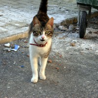 кошки северного кипра
